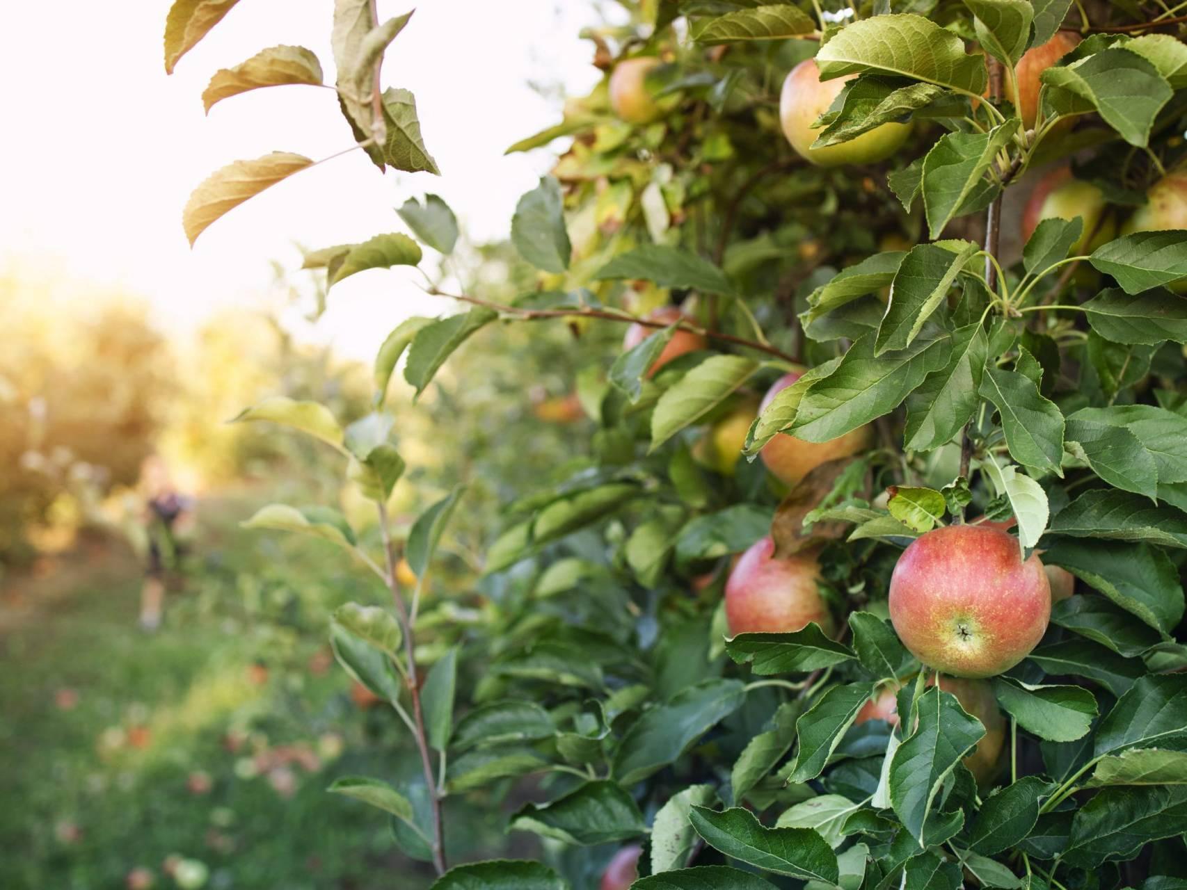 apple orchard scaled uai